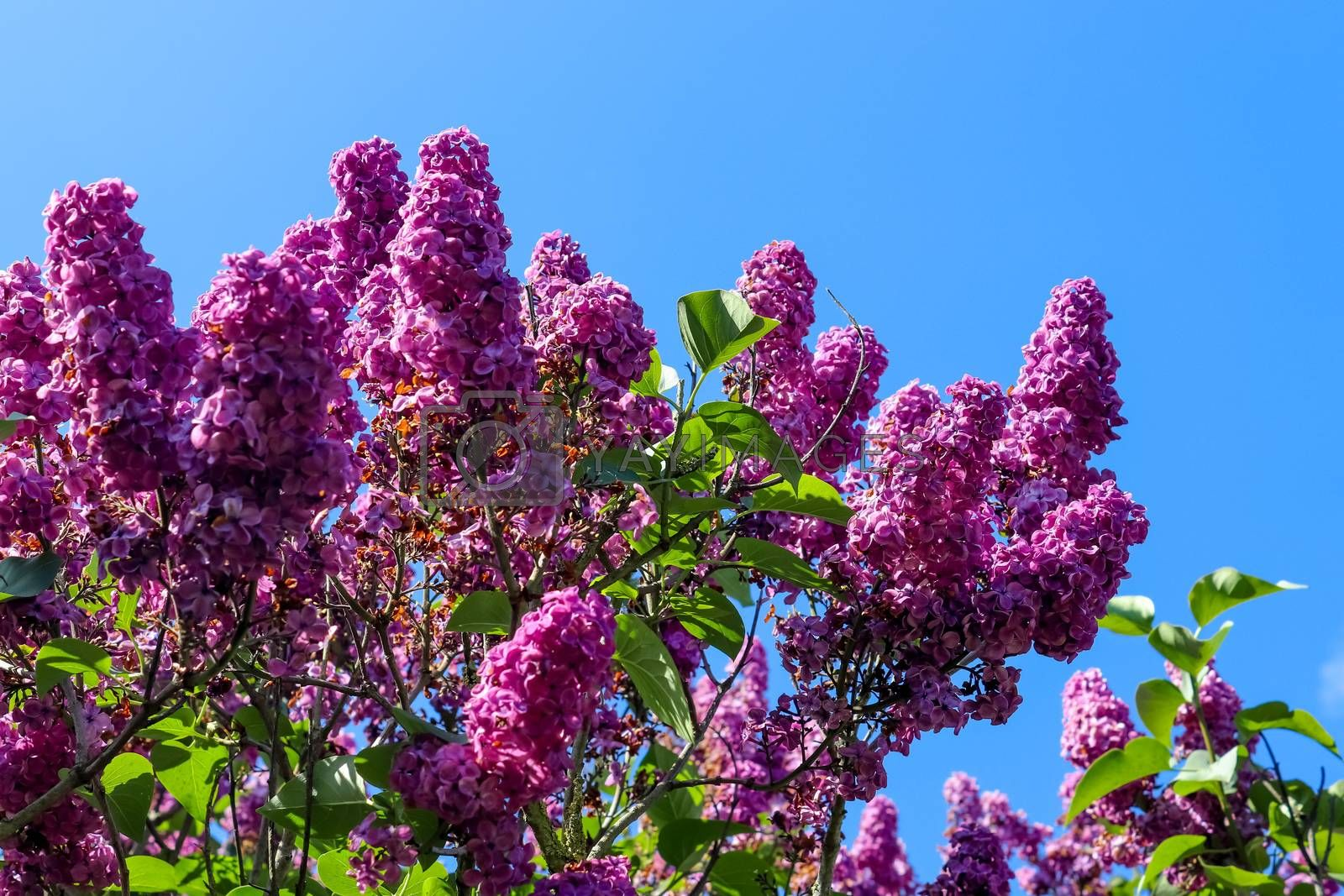 Lilac tree syringa vulgaris in front of a clear blue sky during  by MP_foto71