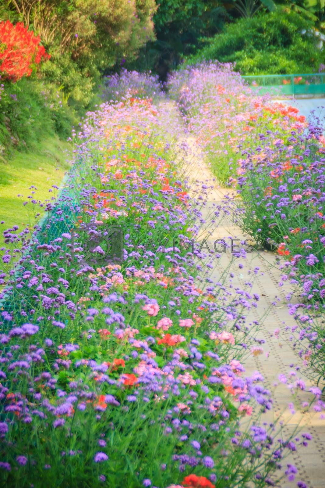 Stone pavement with purple rows of verbena flowering bushes in the flower garden. Red and violet flowers path for background.