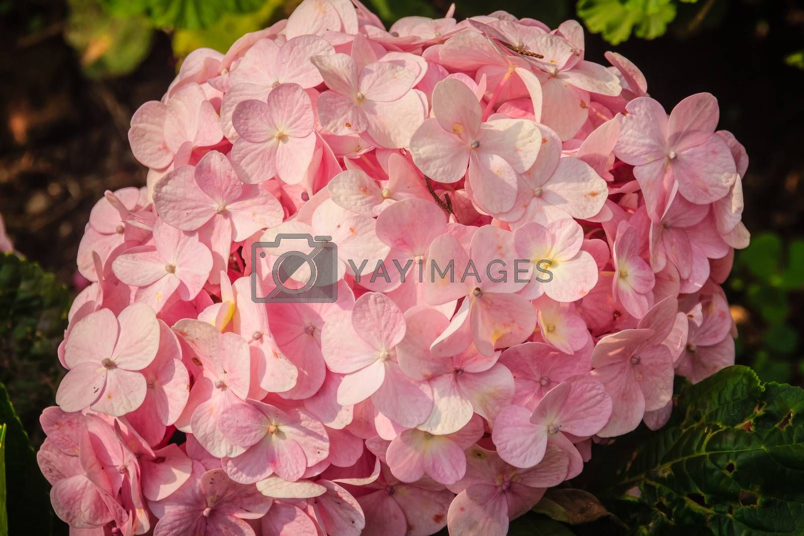 Beautiful pink Hydrangea macrophylla flowers background. Common names include bigleaf, French, lacecap, mophead hydrangea, penny mac and hortensia.