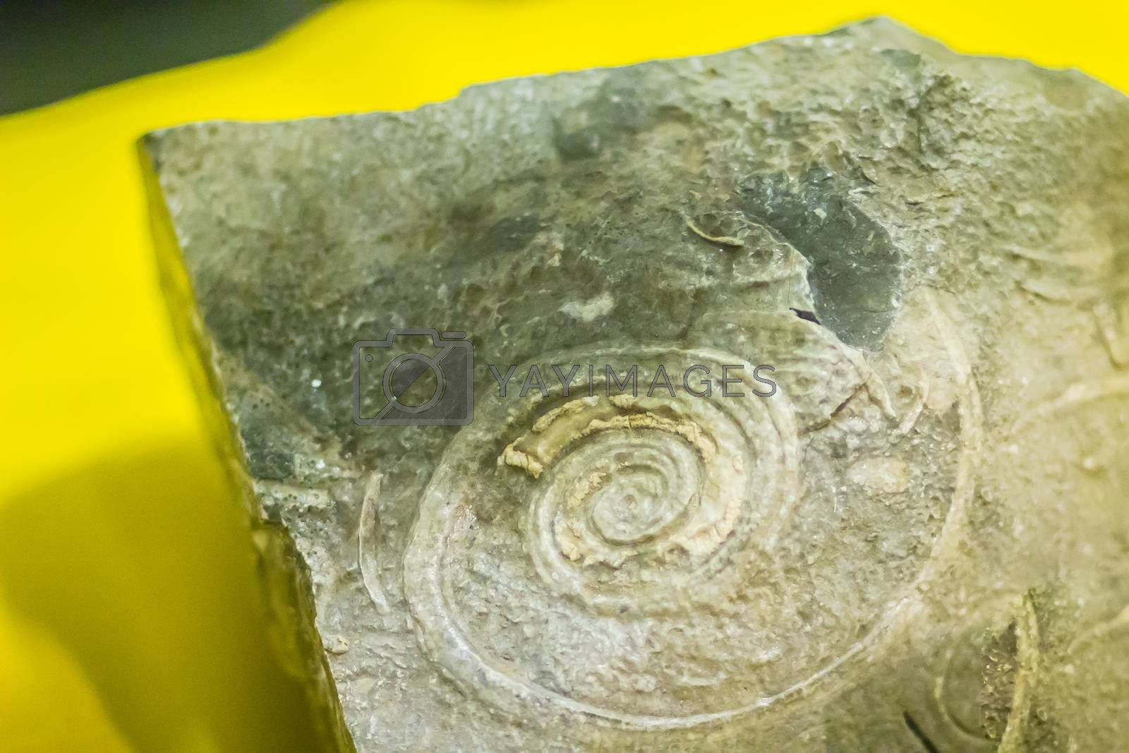 Gastropod shell fossil for education back to the early Cambrian. The gastropod shell consists of a single valve, unlike bivalves.