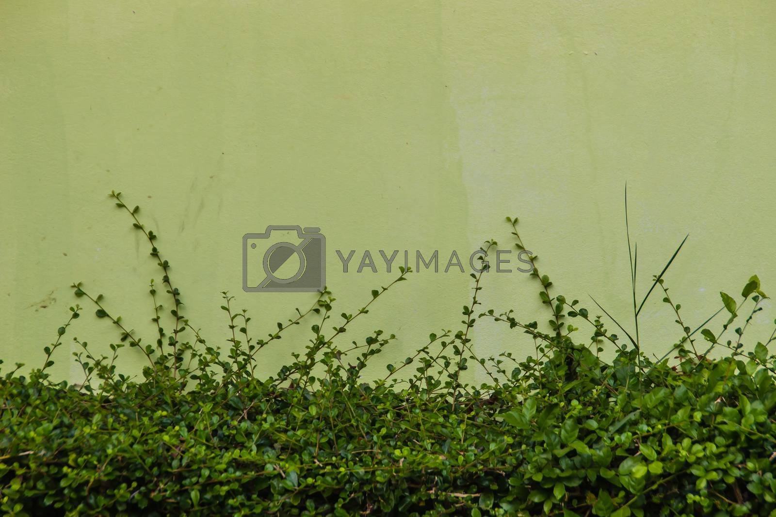Green painted wall copy space with green vine leaves background. Green leafs on green painted wall with copy space for text.