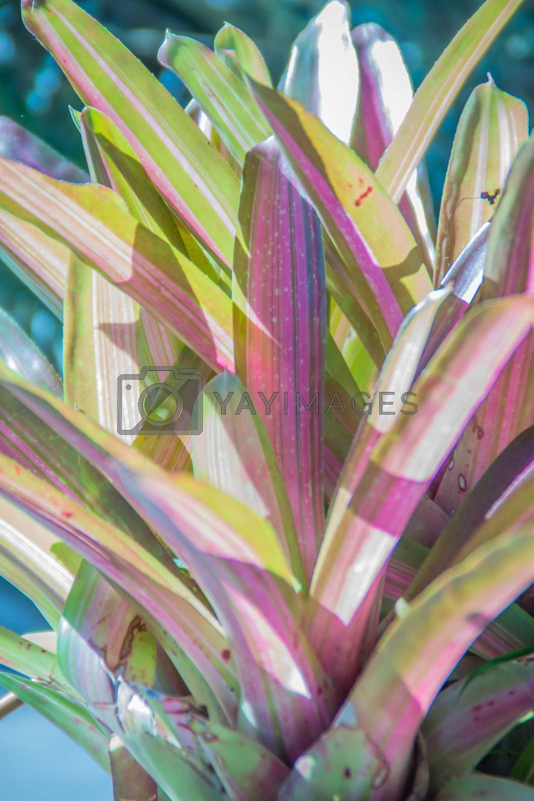 Pink hybrid aechmea fasciata or bromeliad pineapple with sunshine in the morning.