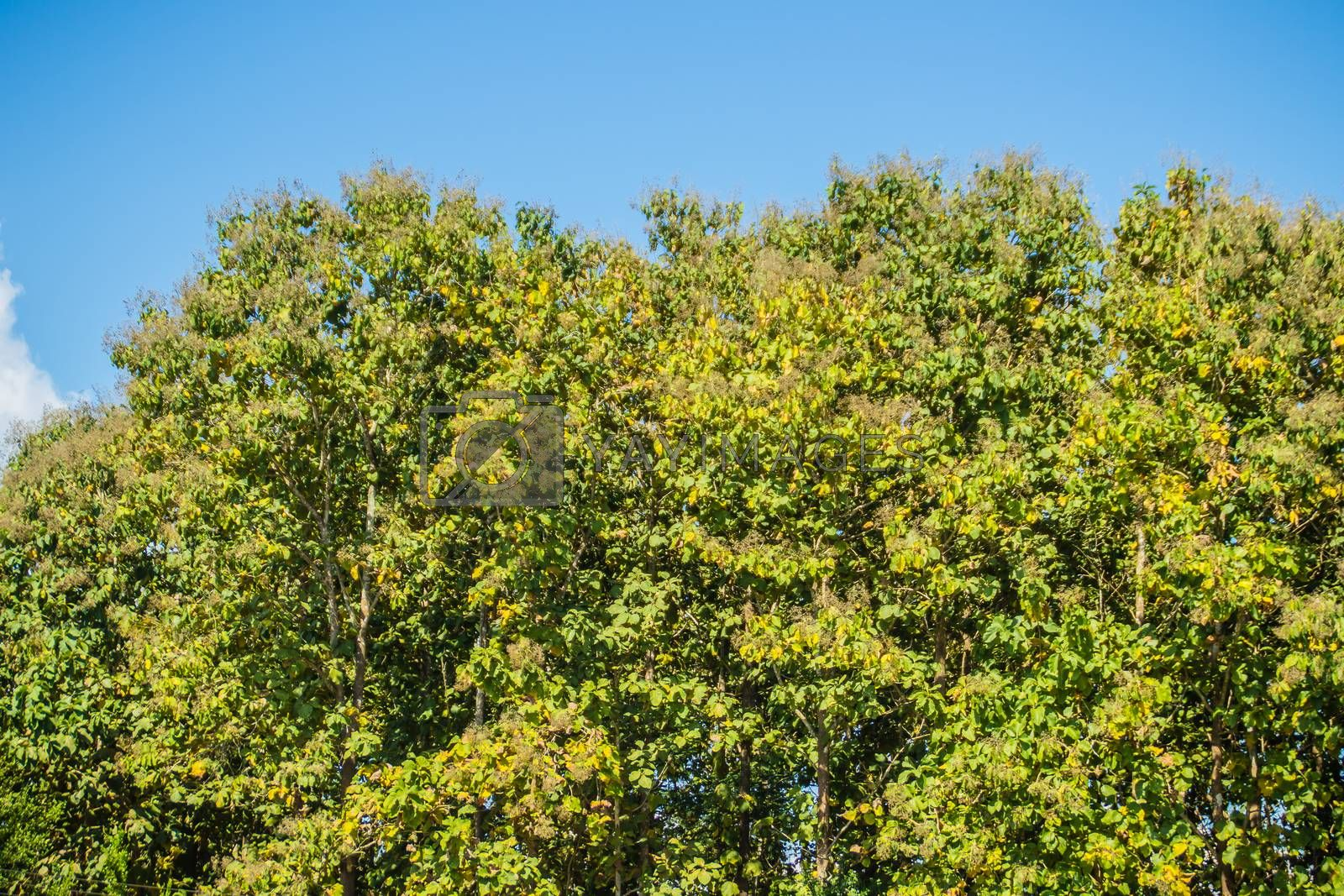 Teak treetop forest with blue sky background for text. Teak (Tectona grandis) is a tropical hardwood tree that occurs in mixed hardwood forests. It has small, fragrant white flowers and large leaves.