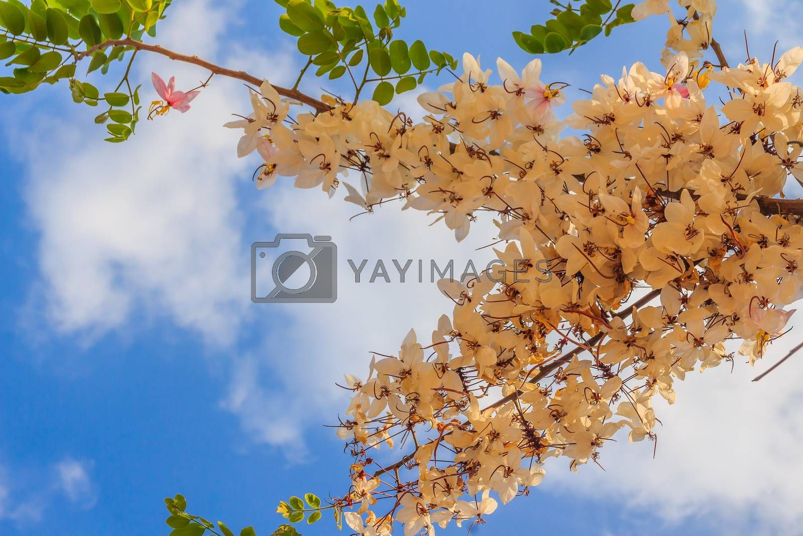 Pink shower tree flowers (Cassia bakeriana) on blue sky background. Cassia bakeriana, commonly called Wishing Tree, Pink Shower, is a small flowering tree native to forested areas of Thailand.