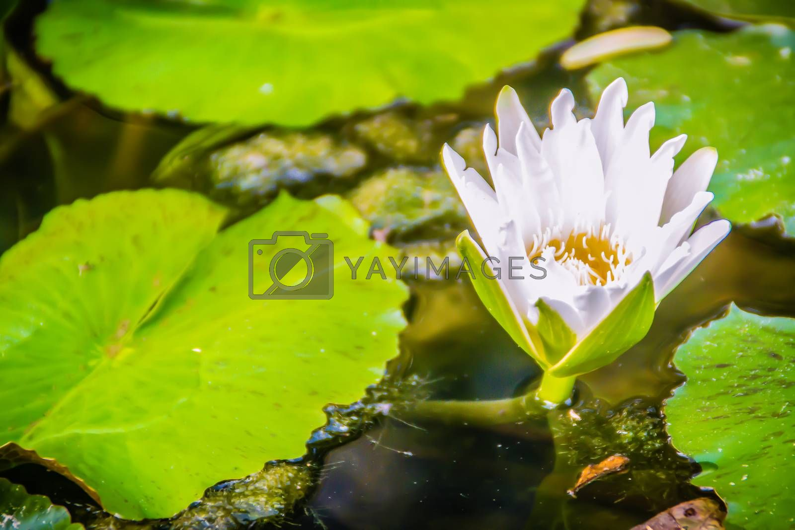 White lotus with yellow pollen with green leaves background. Bloom white water lily flowers with yellow pollen in the pond.