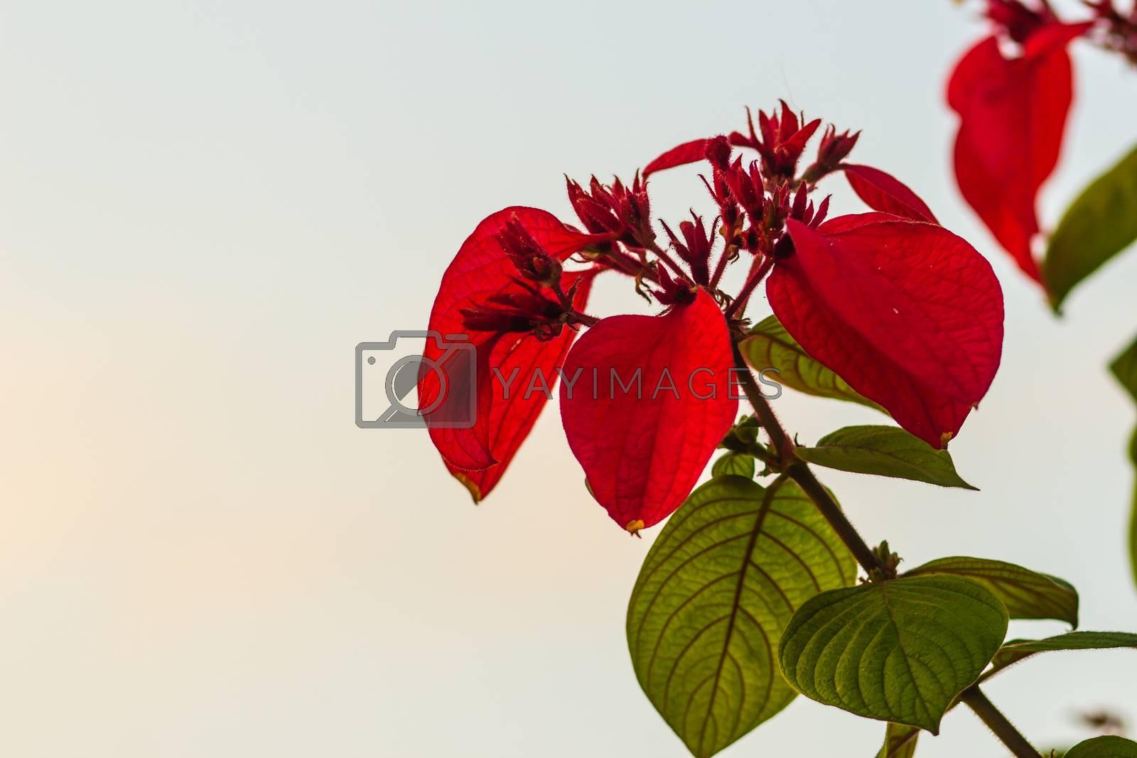 Red Ashanti blood flower (Mussaenda erythrophylla) green leaves background. Mussaenda erythrophylla also know as Ashanti blood, red flag bush and tropical dogwood, is an evergreen West African shrub.