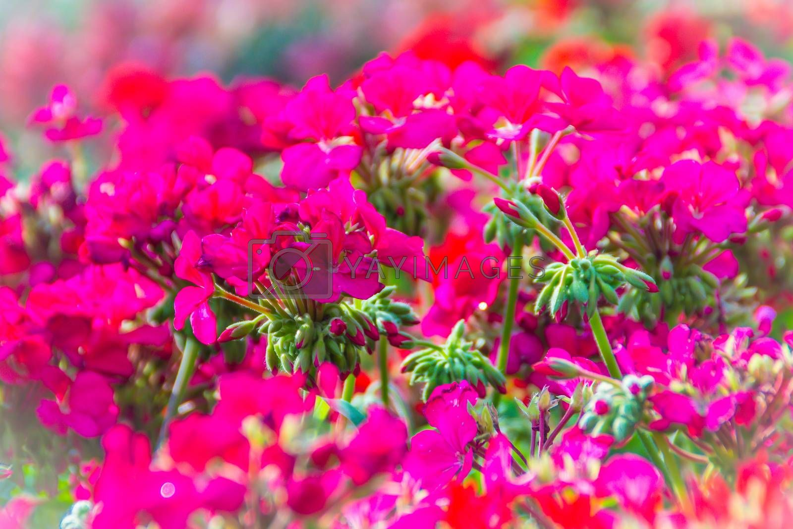 Beautiful red pink flowers of Pelargonium peltatum on the flowerbed for background. Pelargonium peltatum is a species of pelargonium known by the common names ivy-leaf geranium and cascading geranium.