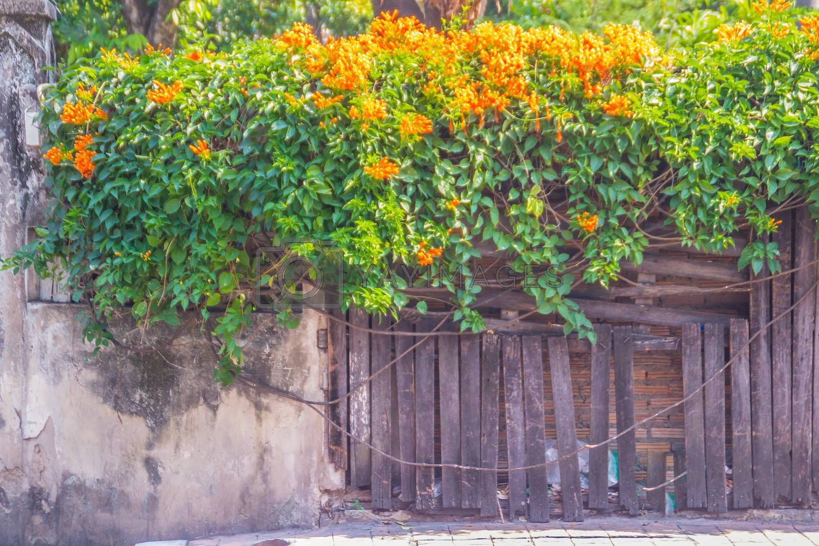 Beautiful orange trumpet flowers (Pyrostegia venusta) blooming on old fence background. Pyrostegia venusta also known as Orange trumpet, Flame flower, Fire-cracker vine, flamevine, orange trumpetvine.