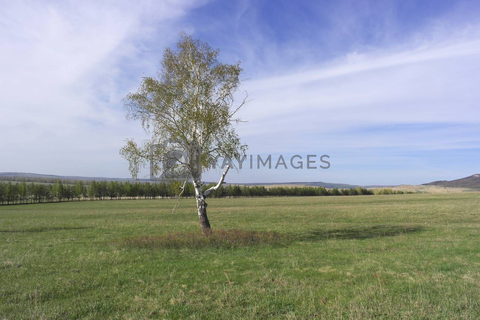 Beautiful landscape with lonely birch by sergpet
