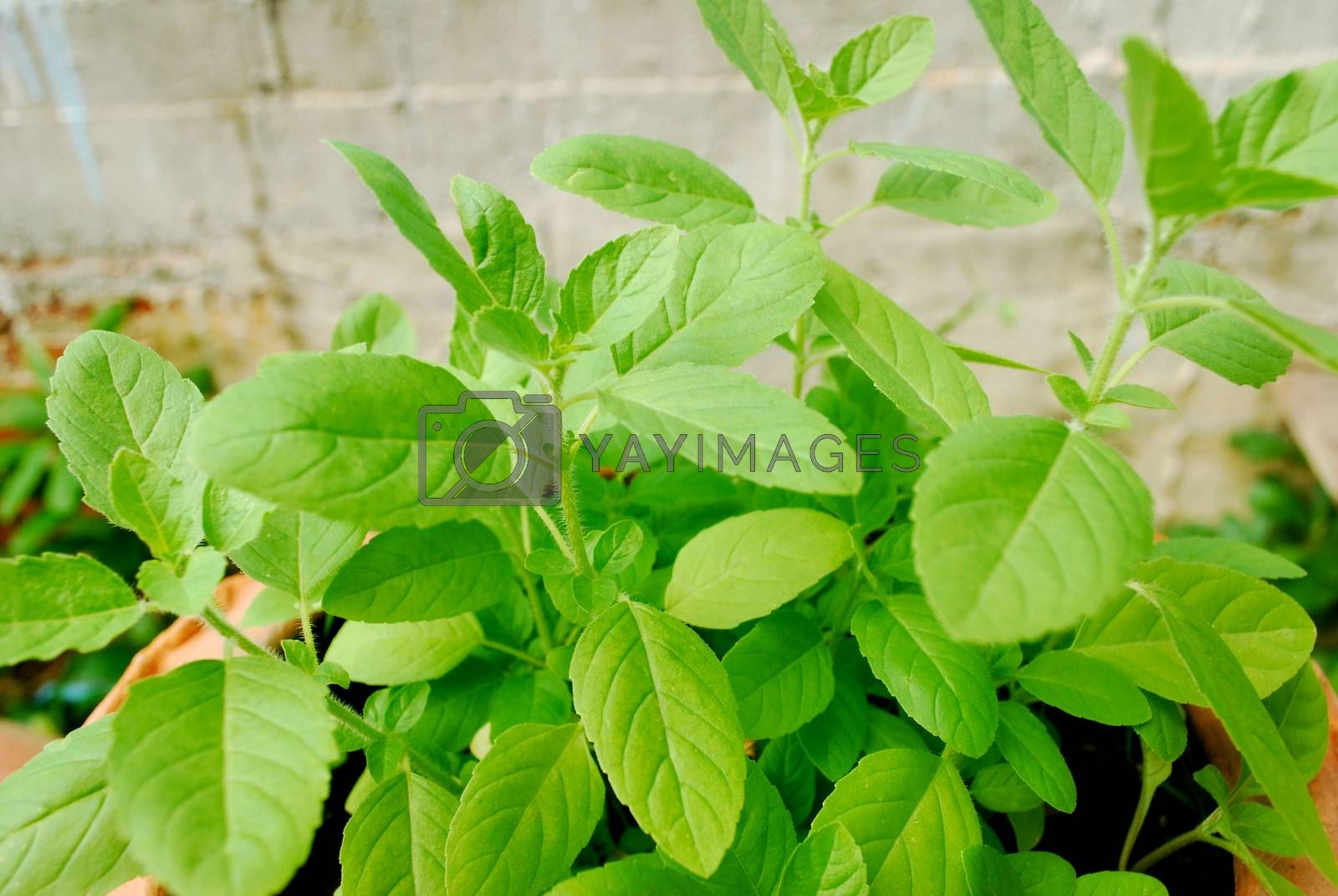 Thai basil planted for eating, non-toxic.;