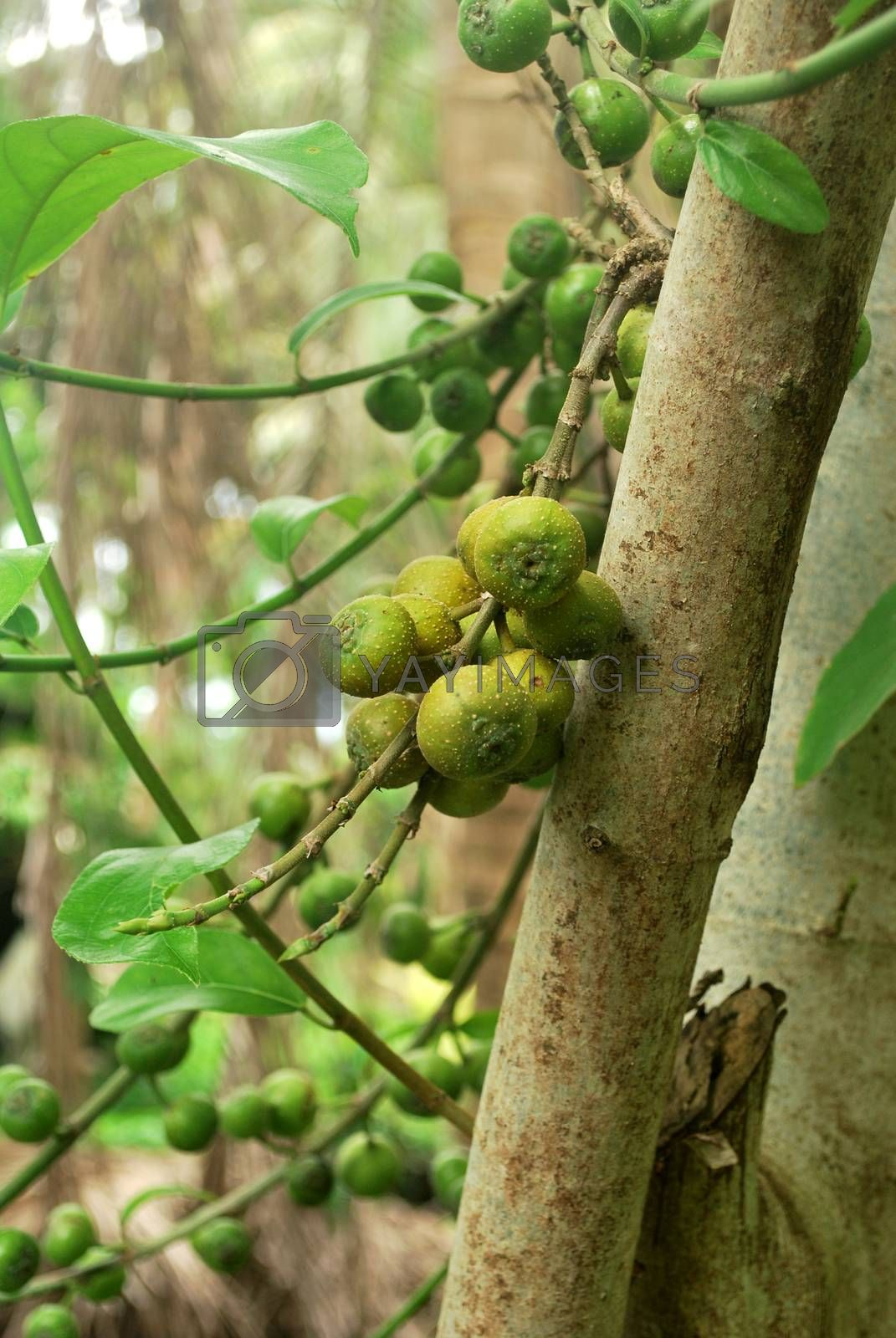 Is a medicinal plant of Thai wild figs.