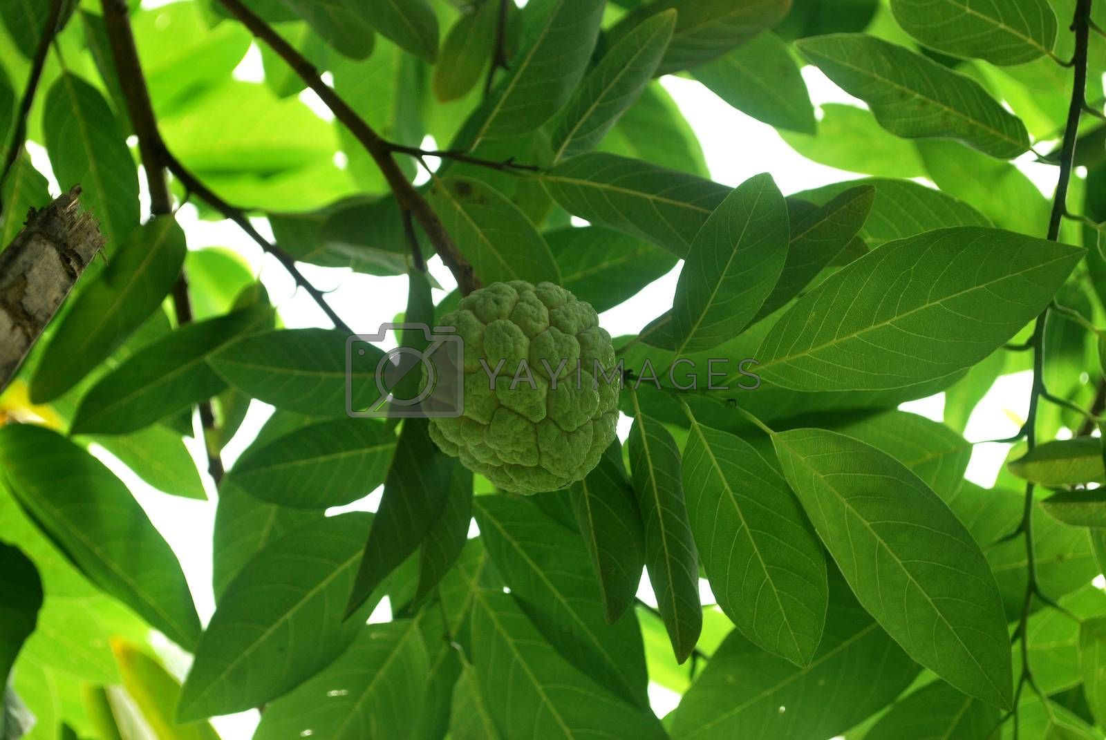 Fresh custard apple is extracted as an insect repellent.;