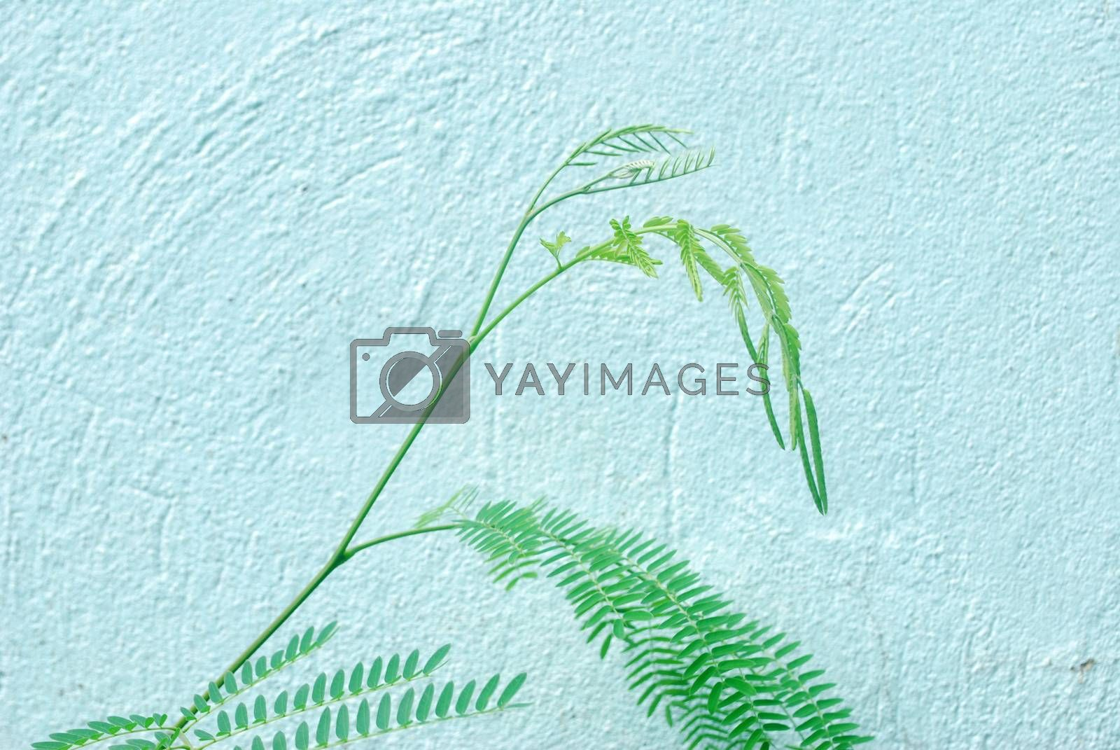Leucaena is a plant extracted as a food for vegetables.