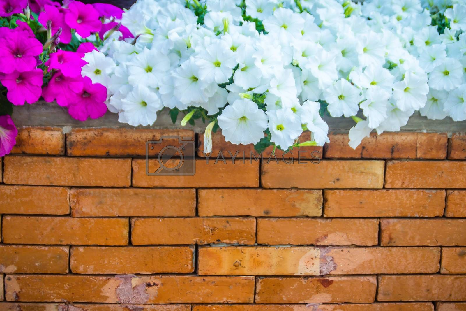 Beautiful pink and white petunia flowers with orange brick wall background and copy space for text. Petunias are one of our most popular summer bedding plants, flowering throughout summer.