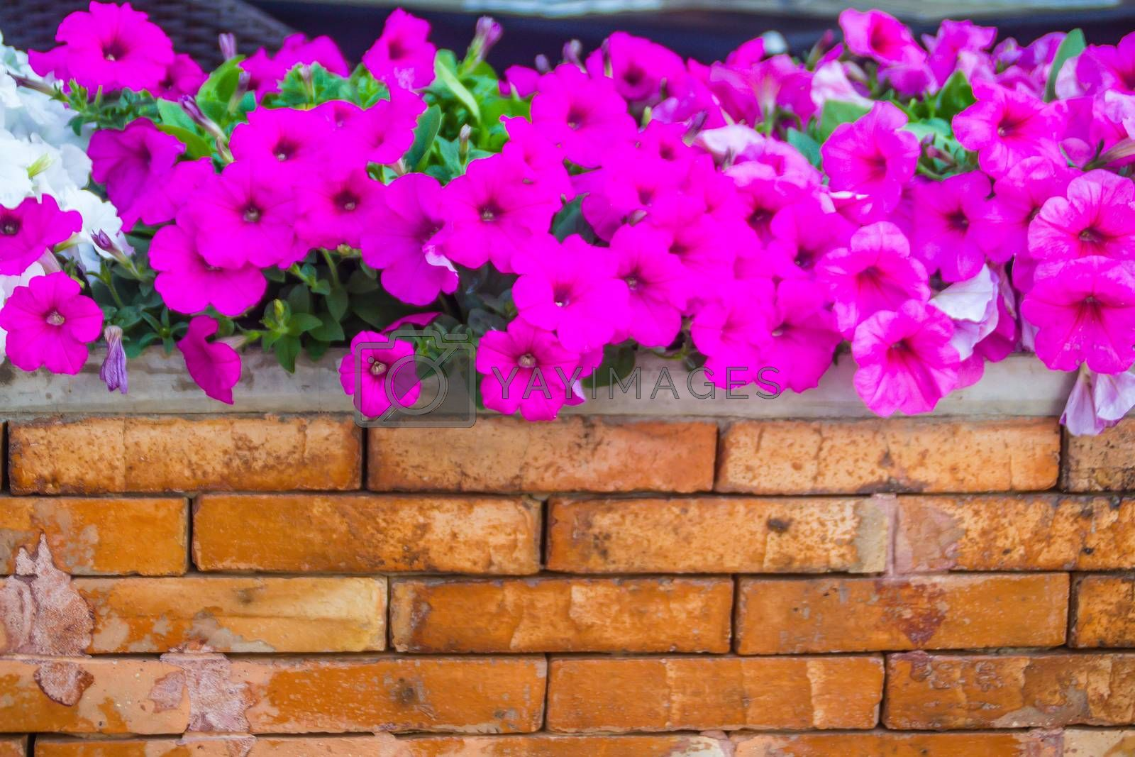 Close up beautiful pink petunia flowers with orange brick wall background and copy space for text. Petunias are one of our most popular summer bedding plants, flowering throughout summer.
