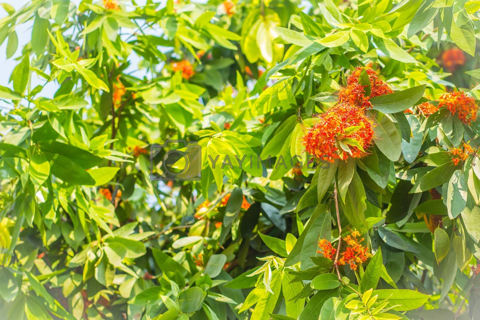 Colorful orange and yellow blooms of Saraca asoca (Saraca indica Linn) flowers on tree. Saraca indica Linn also known as asoka tree, Ashok or simply Asoca. It is important tree in traditions of India.