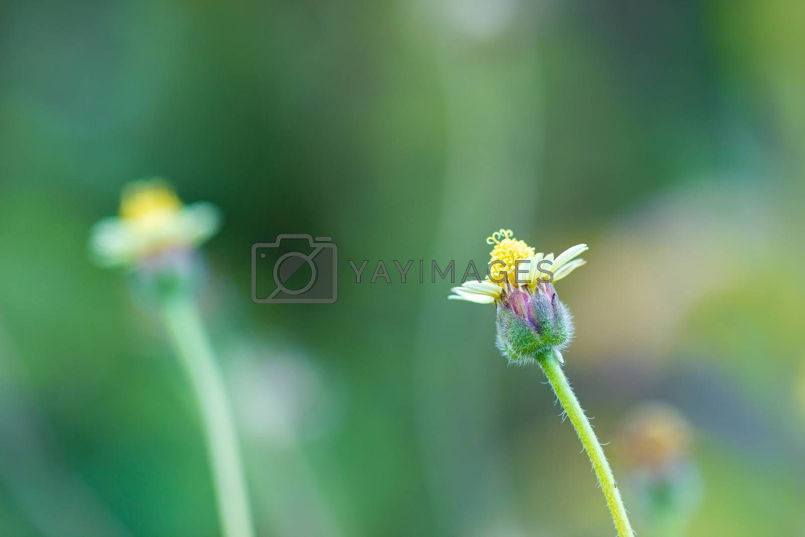 Flower of grass in green natural background at tropical forest. Vintage natural background. Closeup and copy space.
