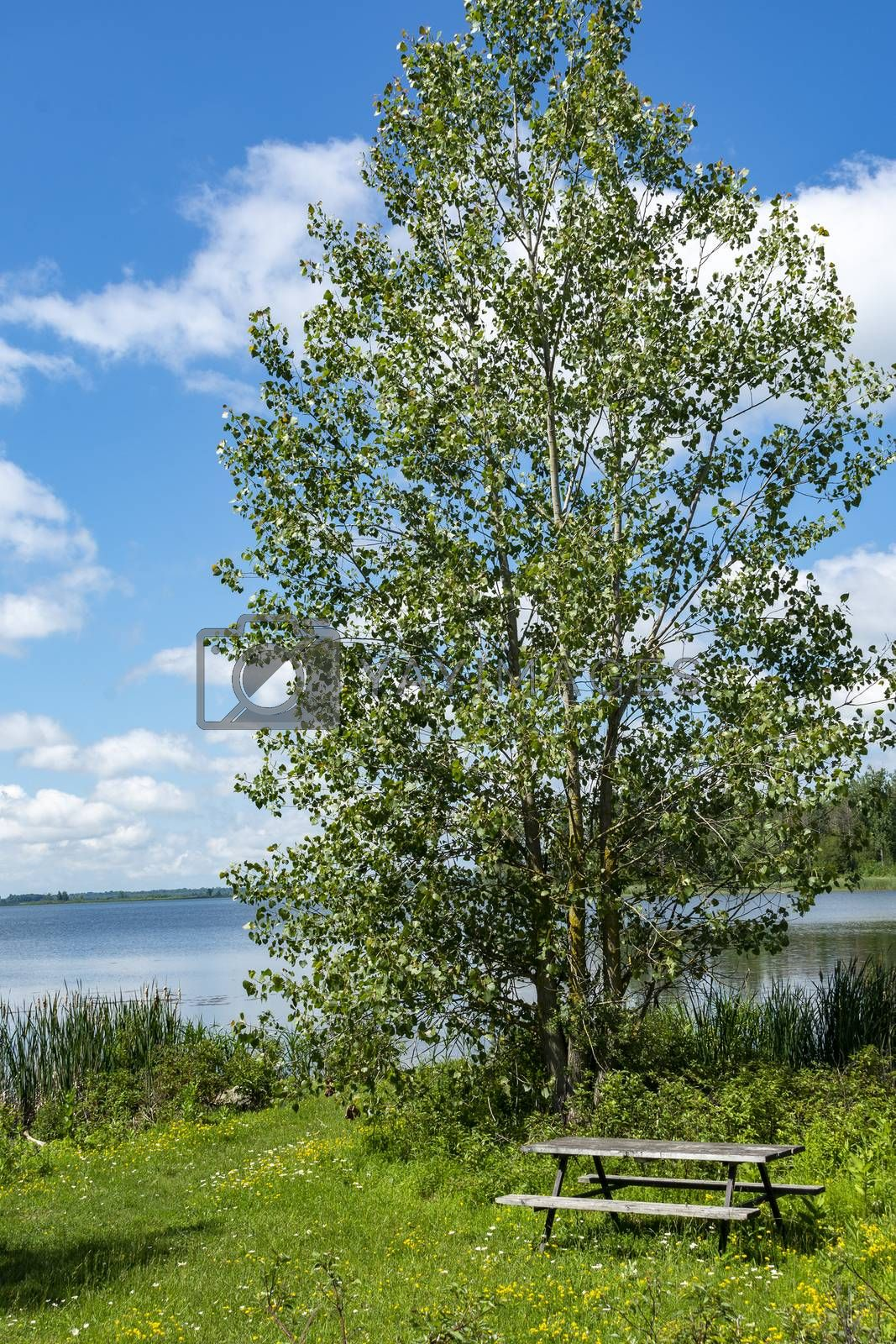 A beautiful alder tree grows on the shore near the lake, and under it, on the lawn, is a table with two benches