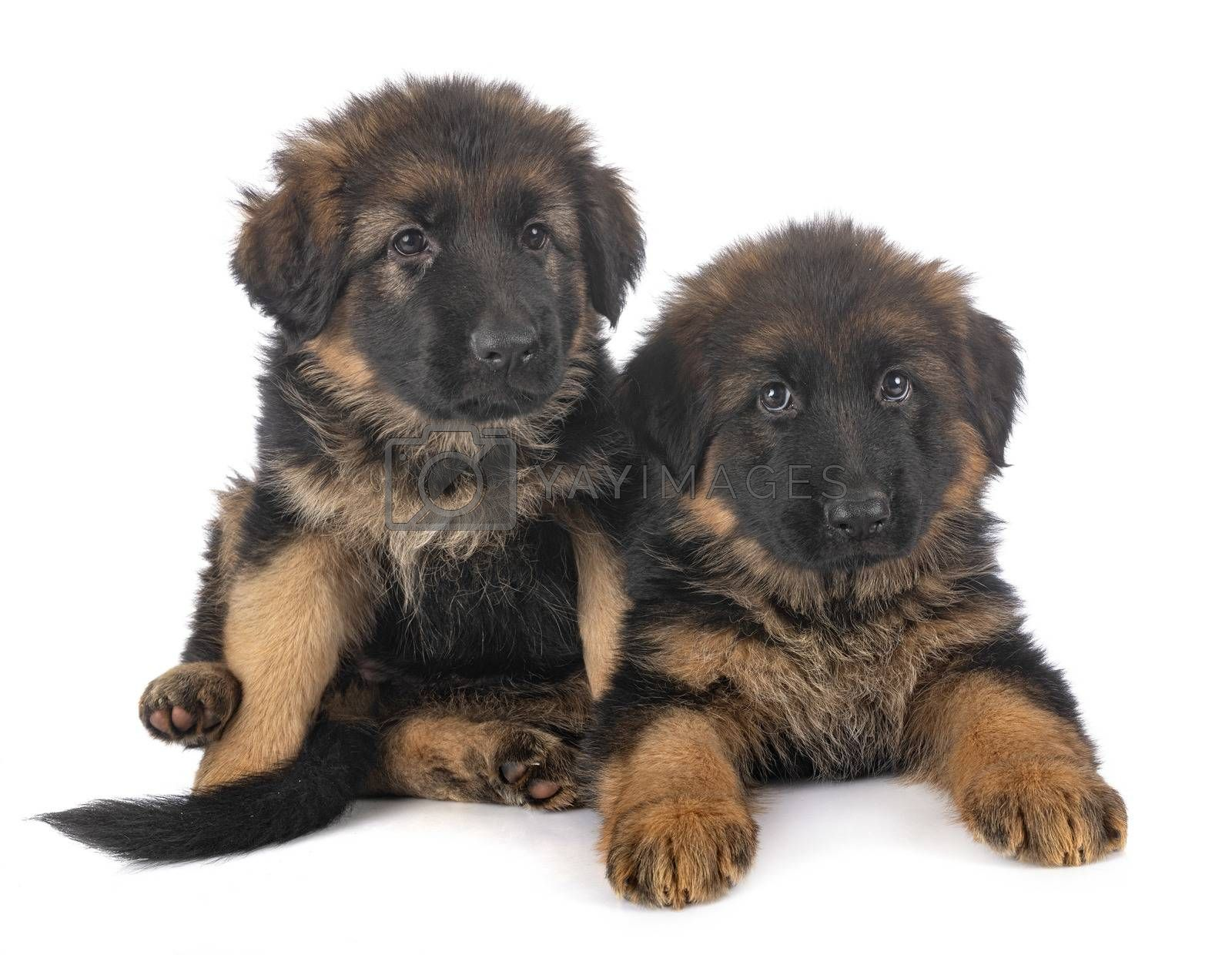 puppies german shepherd in front of white background