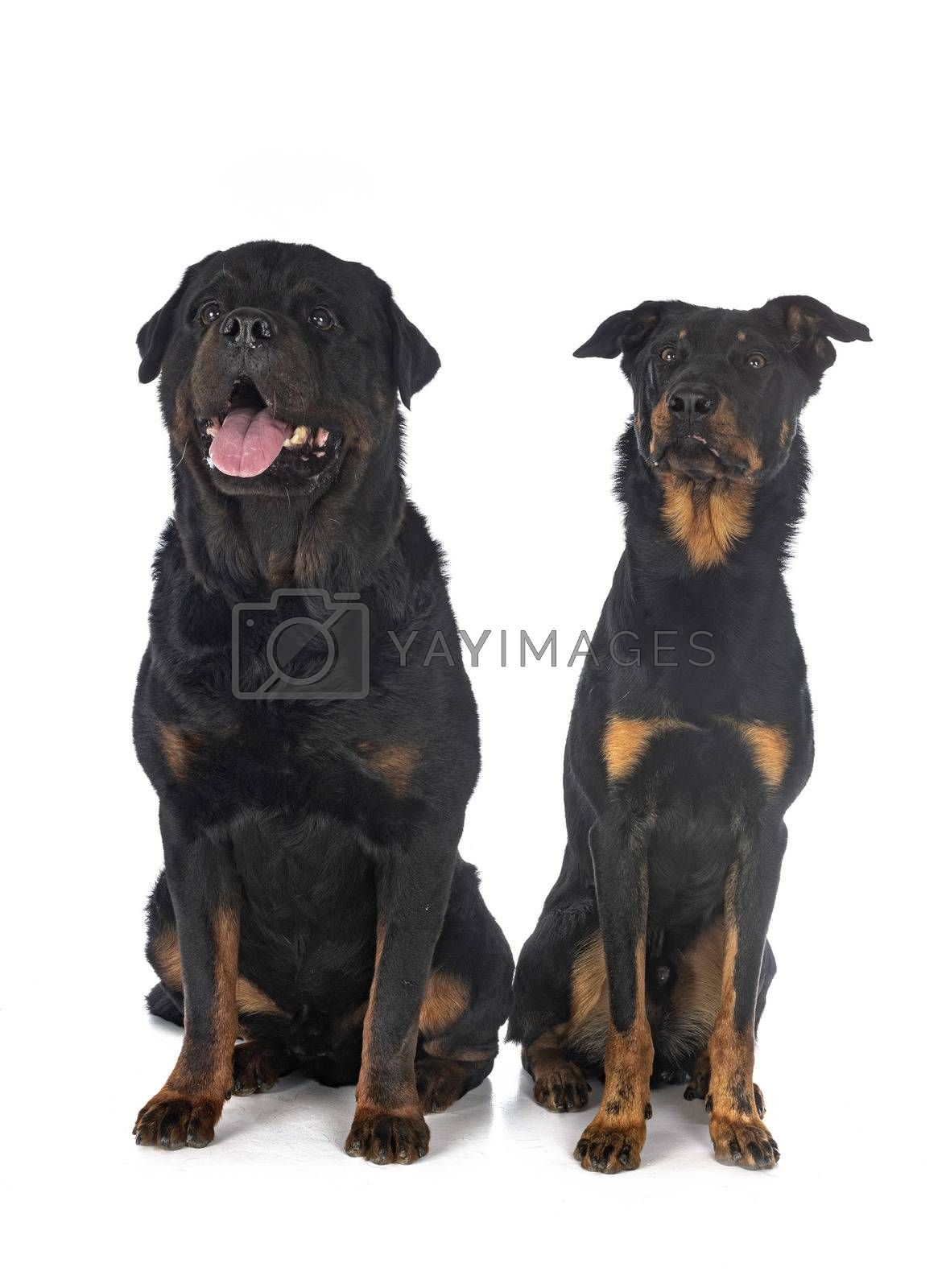 berger de Beauce and rottweiler in front of white background