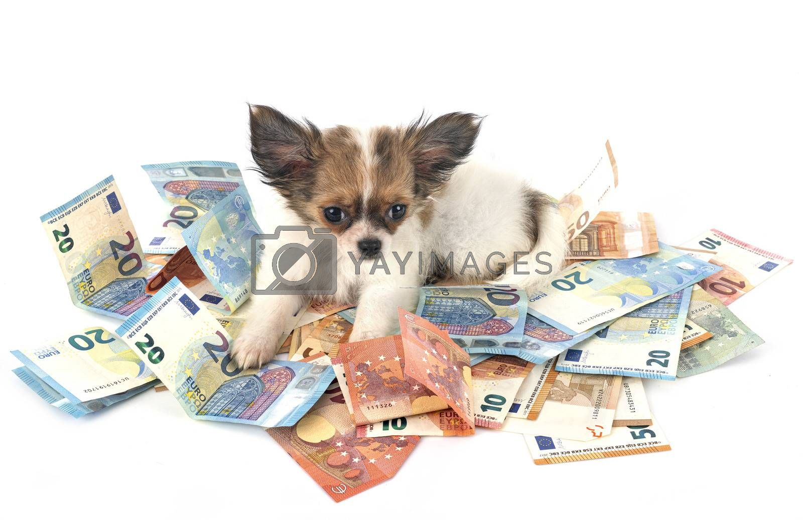 little chihuahua and money in front of white background