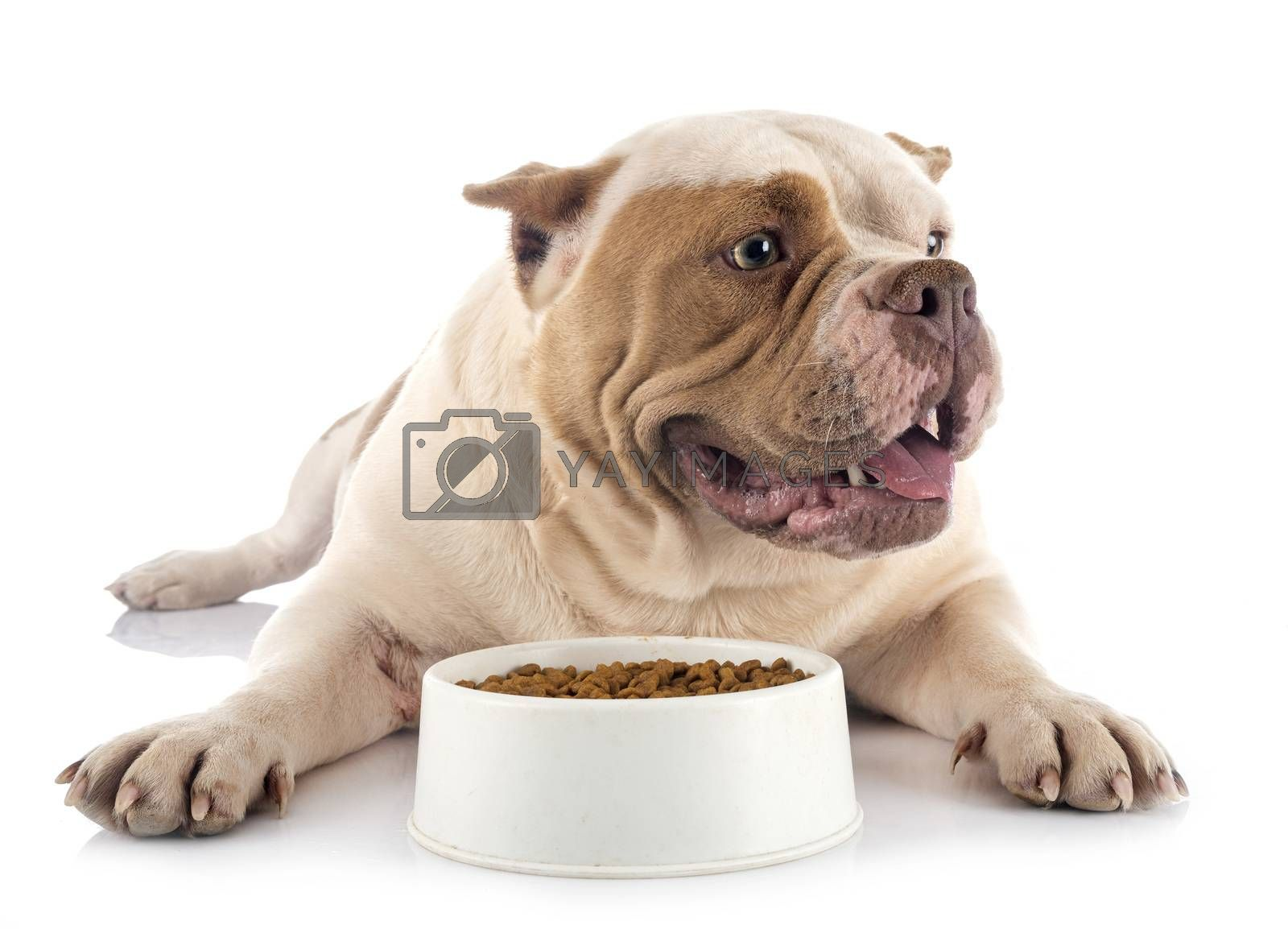 american bully in studio by cynoclub