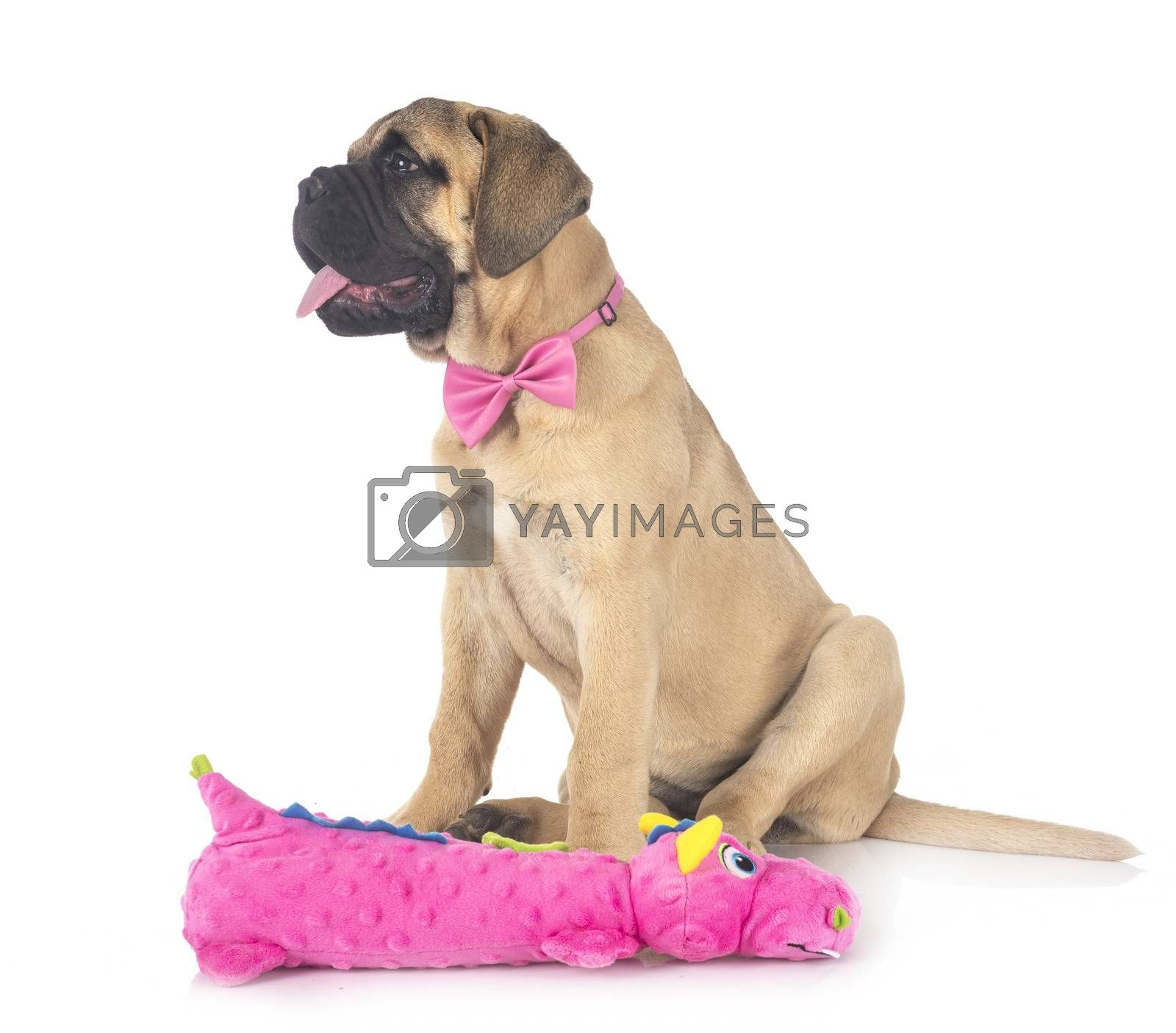 young bullmastiff in front of white background