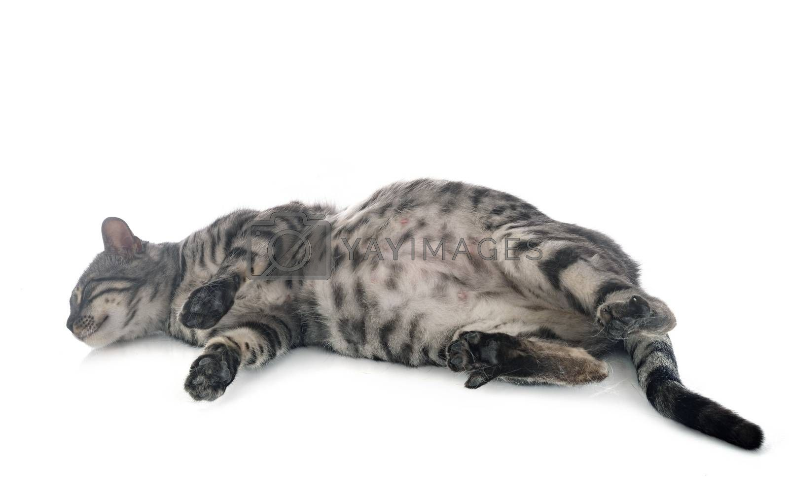 bengal cat in studio by cynoclub