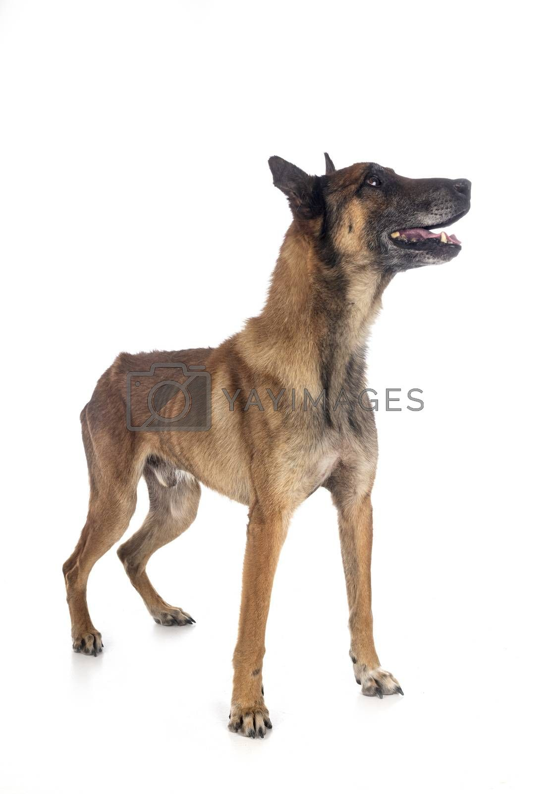 malinois in studio by cynoclub