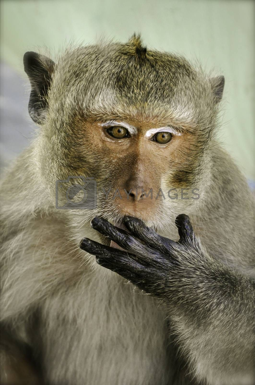 A close up portrait of a macaque monkey licking it's finger whilst eating.