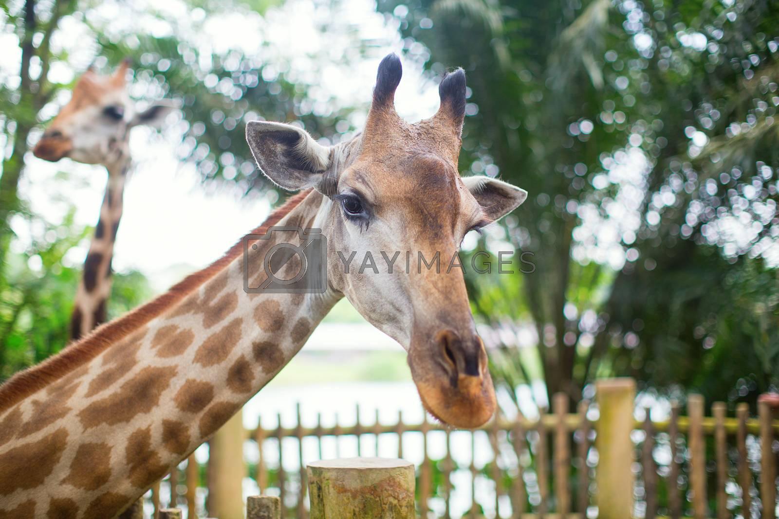 Giraffe in the zoo by jaspe