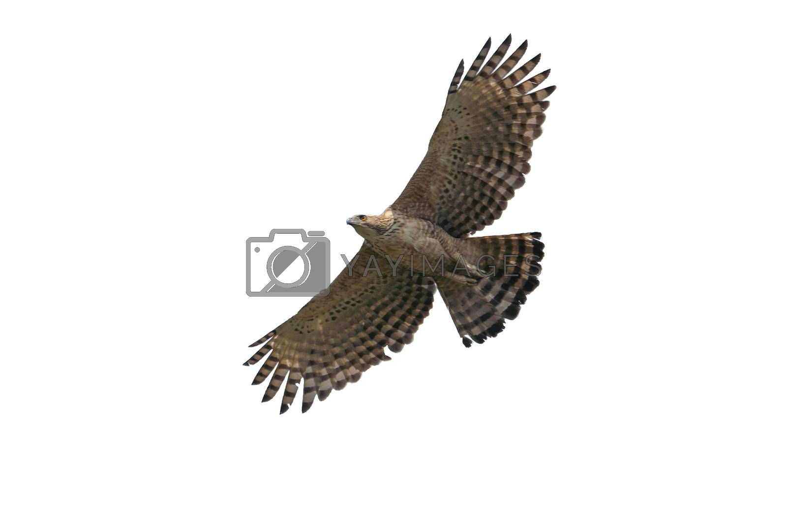 Isolated hawk in flight