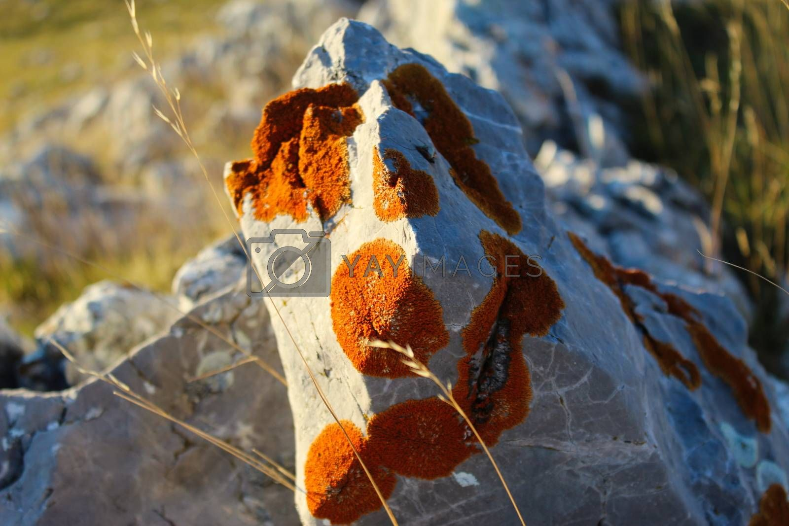 Stone covered with colonies of orange lichens. On the mountain Bjelasnica, Bosnia and Herzegovina.