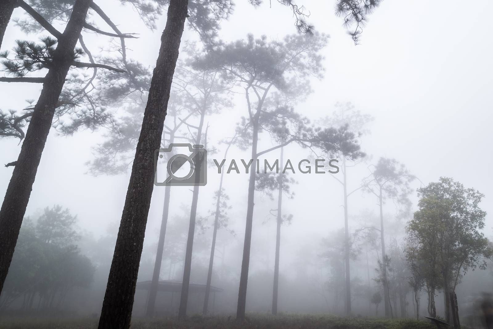 Foggy white scene in tropical rainforest with tall pine trees.