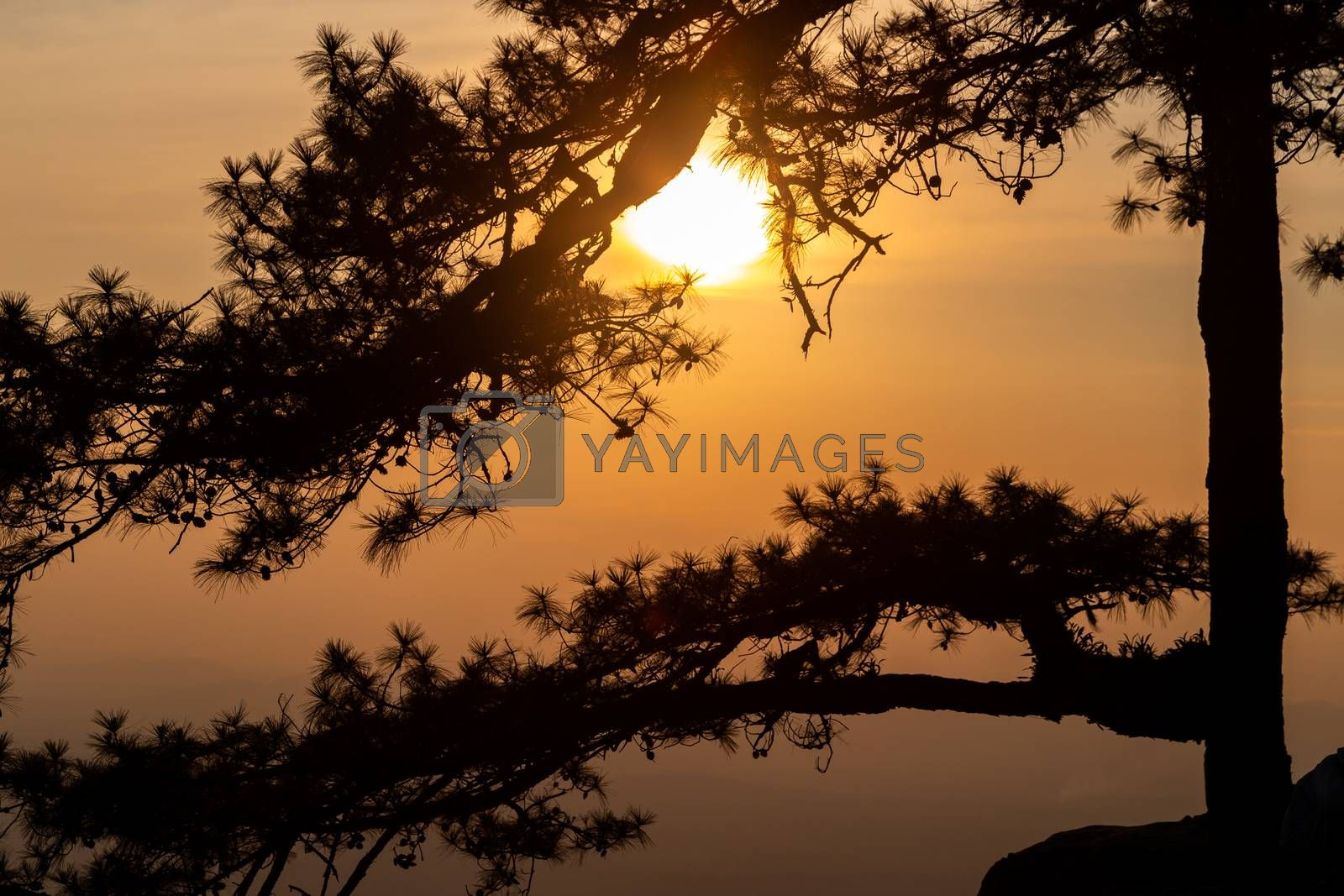 Silhouetted scene of long branches of pine tree on rock cliff with sunset sky, Phu Kradueng, Loei, Thailand.