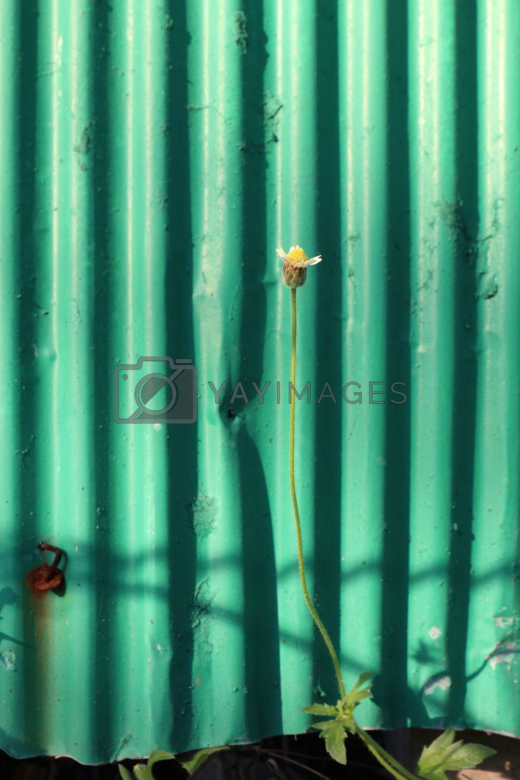 Grass, small flowers beside the fence, galvanized sheet, Small flowers on green galvanized sheet old background morning for design