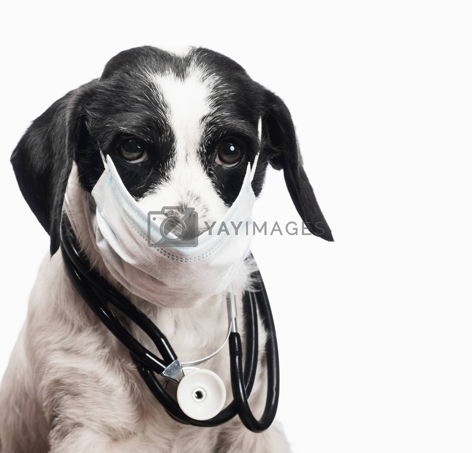 Portrait of Vet dog wearing protective surgical mask and stethoscope on his neck