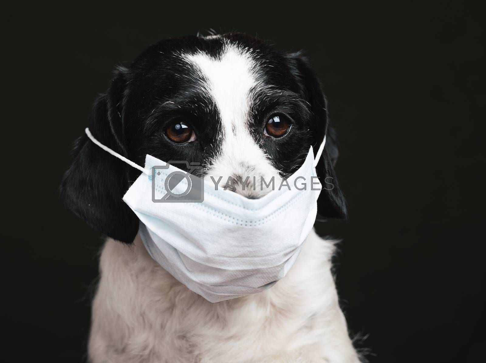 Portrait of a dog wearing protective surgical mask - basic protective measures against transmission of coronavirus COVID-19 disease concept