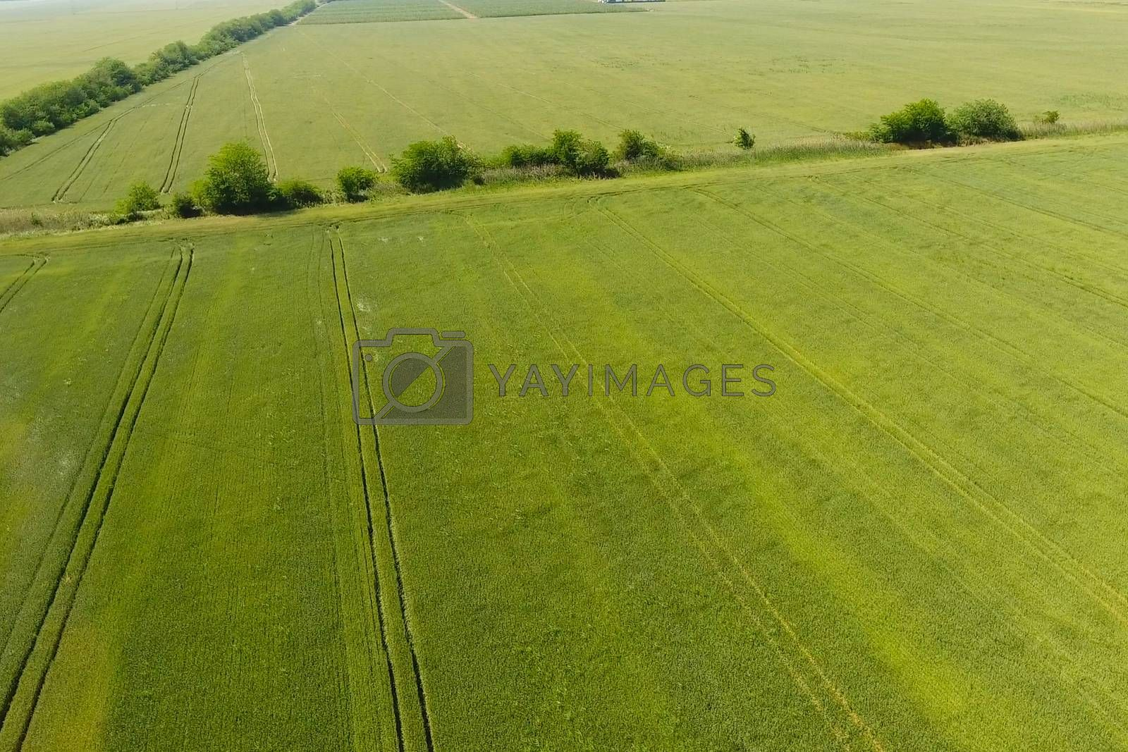 Green wheat in the field, top view with a drone. Texture of wheat green background