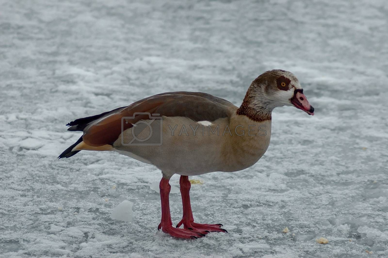 Egyptian goose on the surface of a frozen lake in winter, Sofia, Bulgaria