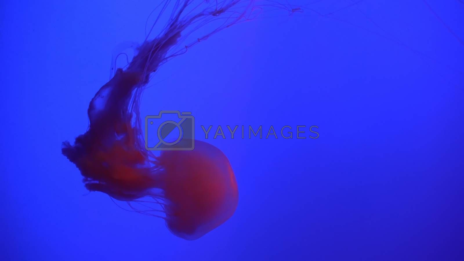 Beautiful Jellyfish (Chrysaora fuscescens) Floating Through the Ocean