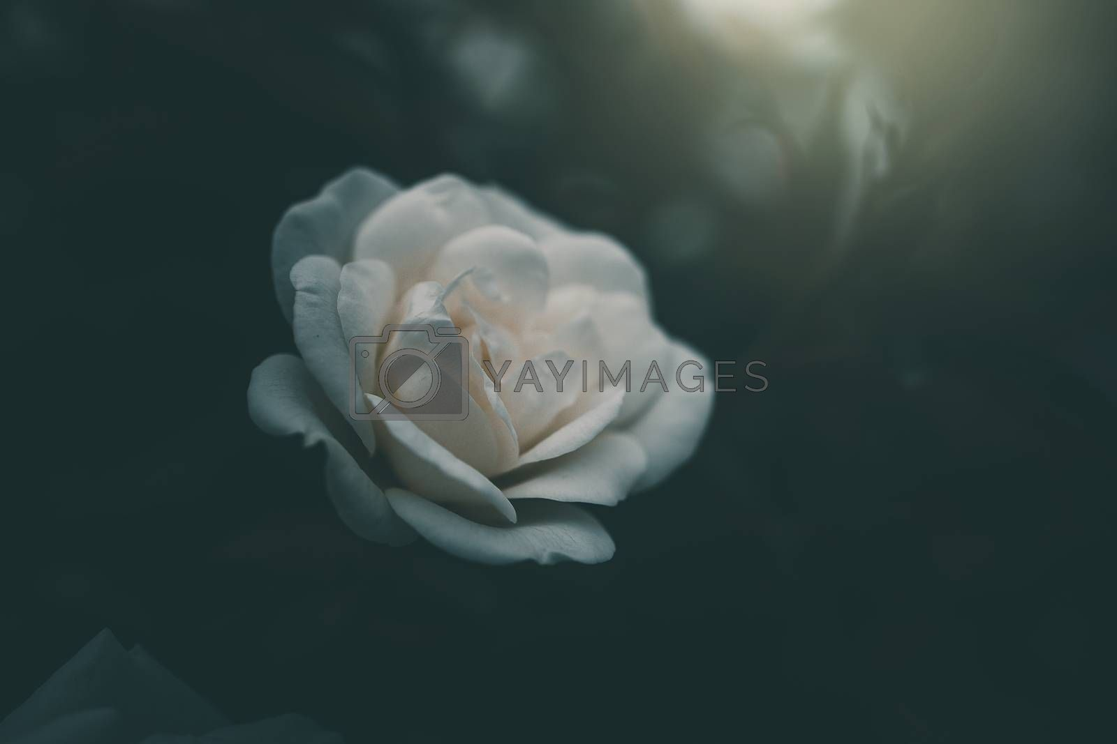 beautiful white little rose on the bush in the garden