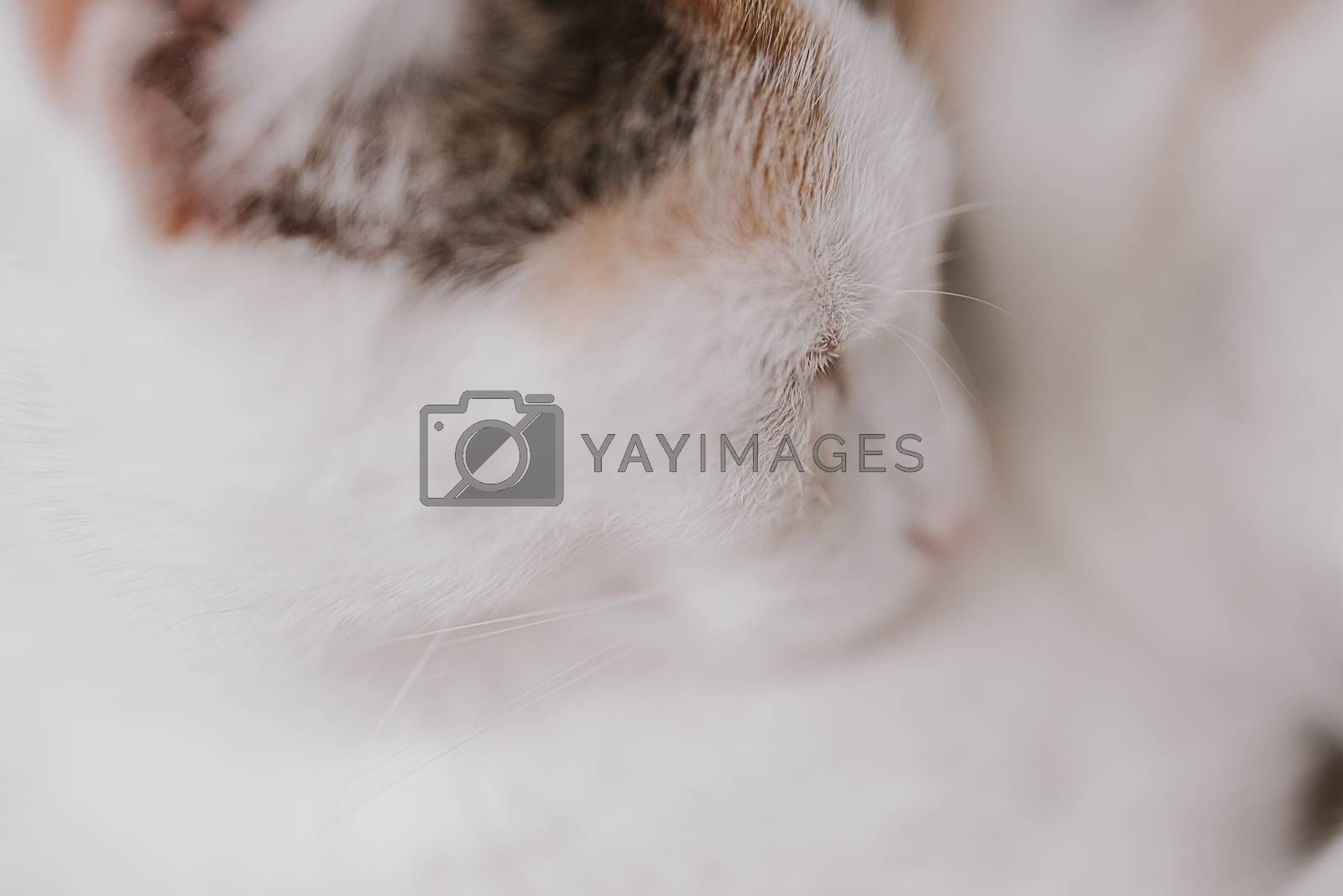 beautiful cute little white-red sleeping cat in closeup