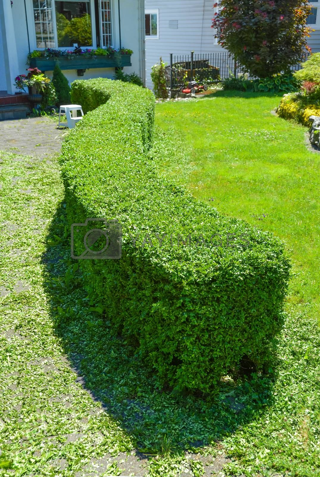 Royalty free image of Green curved hedge in front of a house. Freshly sheared low profile hedge by Imagenet