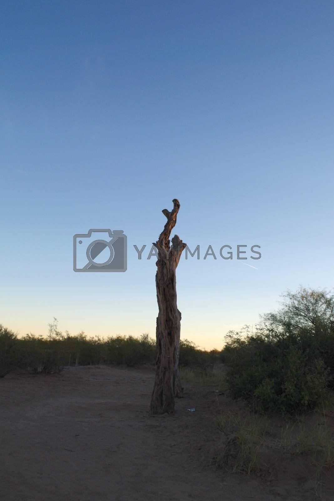 Royalty free image of Dead tree at dusk in the desert by hernan_hyper