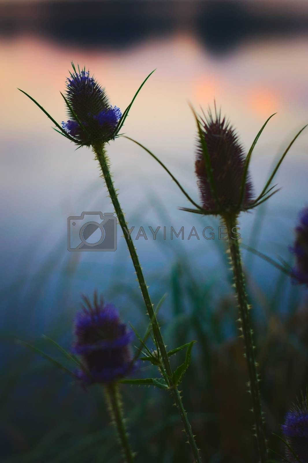 Royalty free image of Thistles and long grass silhouetted against the reflections of the twilight sky by hernan_hyper