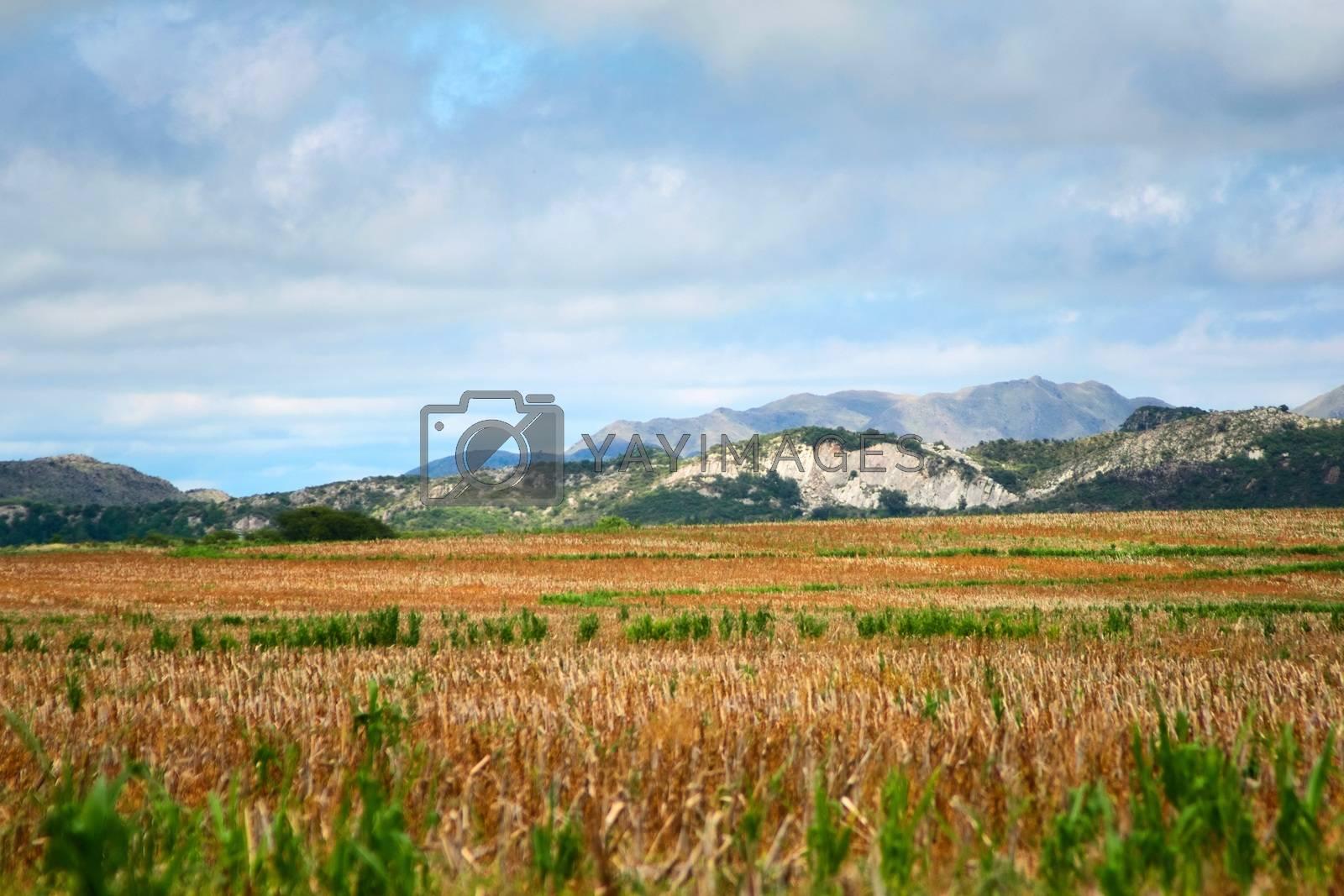 Royalty free image of Harvested corn field in San Luis, Argentina. by hernan_hyper