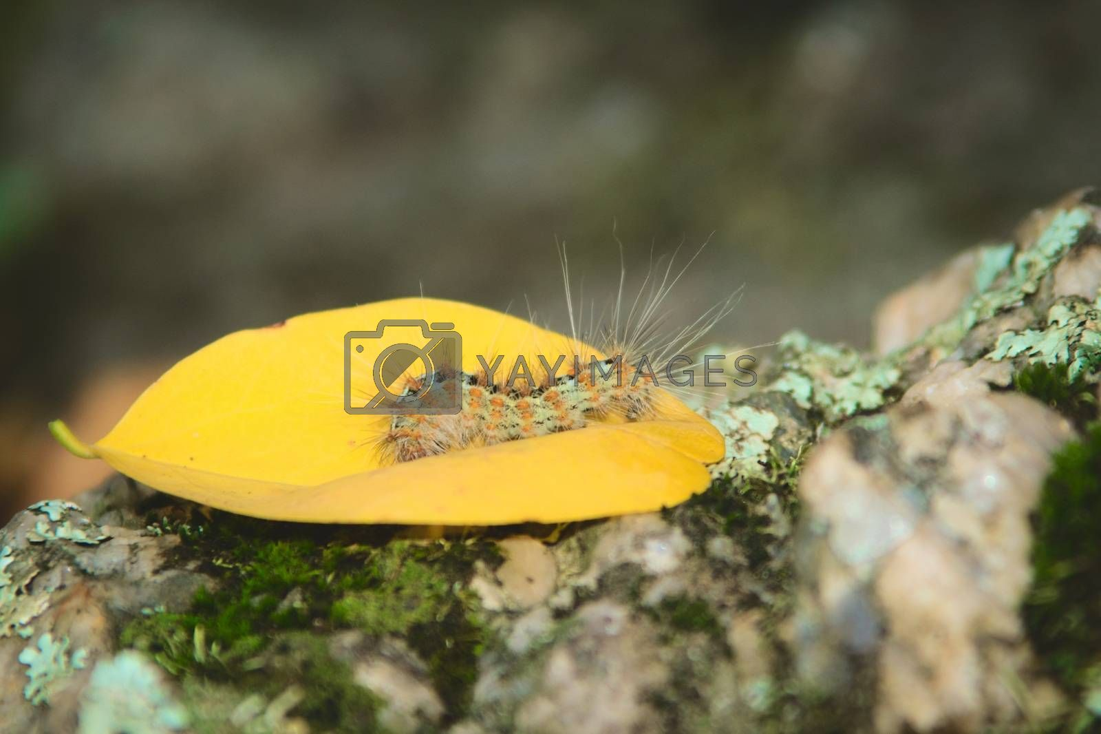Royalty free image of Caterpillar covered in urticating hairs as a defense mechanism by hernan_hyper