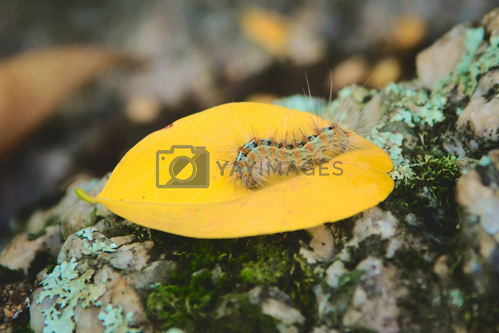 Royalty free image of Caterpillar covered in urticating hairs as a defense mechanism, spotted in a forest in San Luis, Argentina. by hernan_hyper