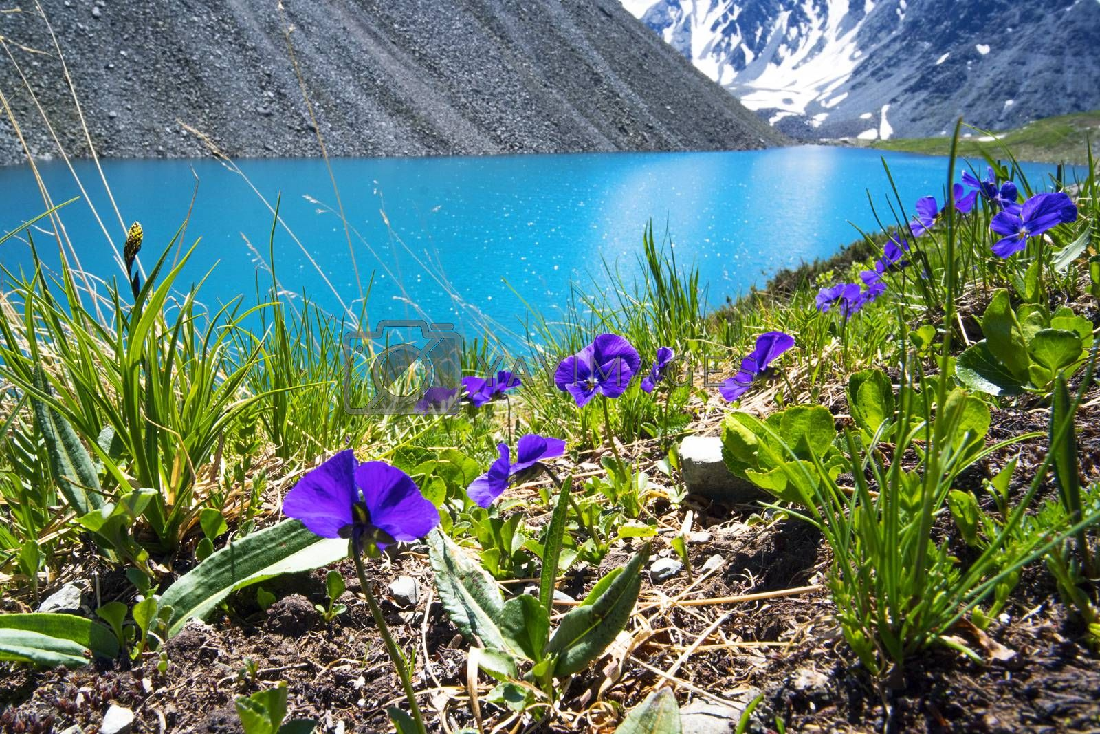 Royalty free image of Beautiful flowers on the background of a mountain lake and snowy peaks in the high mountains of Altai. Wildlife of Siberia in Russia. Beautiful landscape for background by diy13